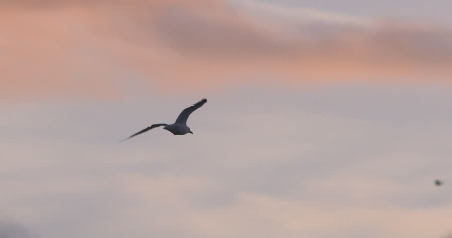 Seagull bird flying at sunset slow motion  | Shutterstock HD Video #1016346094