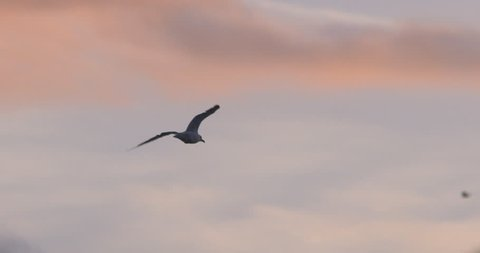 Seagull bird flying at sunset slow motion