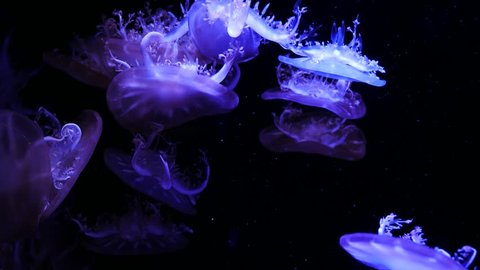 Close-up Jellyfish, Medusa in fish tank with neon light. Jellyfish is free-swimming marine coelenterate with a jellylike bell- or saucer-shaped body that is typically transparent and has stinging tent