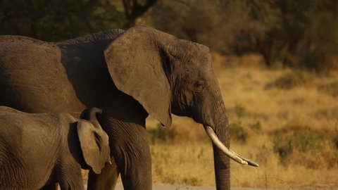 This video was filmed at Tarangire national park in Tanzania Africa. An Elephant feeding her baby