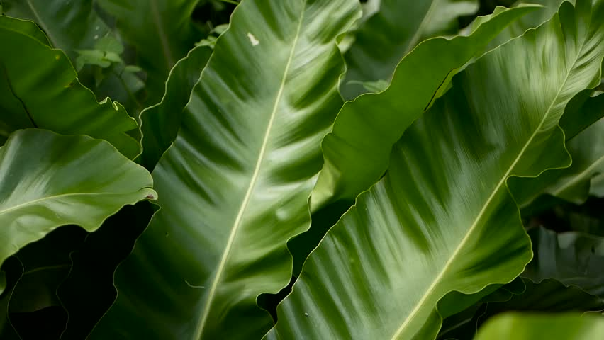 Bird's Nest fern, Asplenium nidus. Wild Paradise rainforest jungle plant as natural floral background. Abstract texture close up of fresh exotic tropical green fresh curly leaves in fantasy dark woods #1016512504
