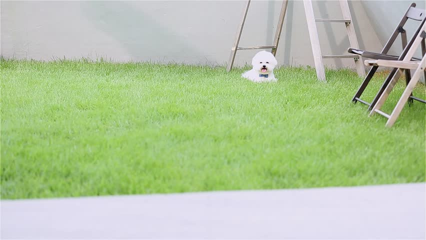 Bichon Frise Running On Grass