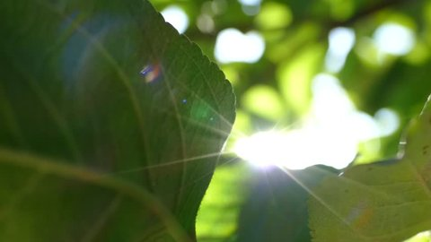 The rays of the sun make their way through the green leaves of the trees. Live texture with green leaves and breaking sun rays.