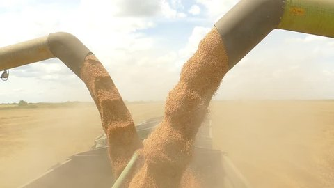 Combine harvesters transferring freshly harvested wheat to tractor-trailer for transport, slow motion