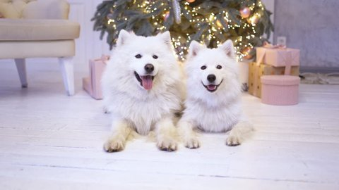 two fluffy white puppy dogs lie under a Christmas tree. snow festive dog. dog under the Christmas tree as a gift. a large shoe of the dog.
