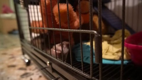 Polecat pet playing with her favorite toy in her mansion cage.
