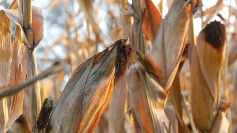 Dried corn on the field. Ripe corn growing on stalk in the open air close up view