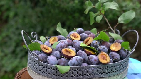 Plums lie in a vintage wood tray. Plum tree leaves are among the ripe fruits. Static movie with zoom IN in real time.
