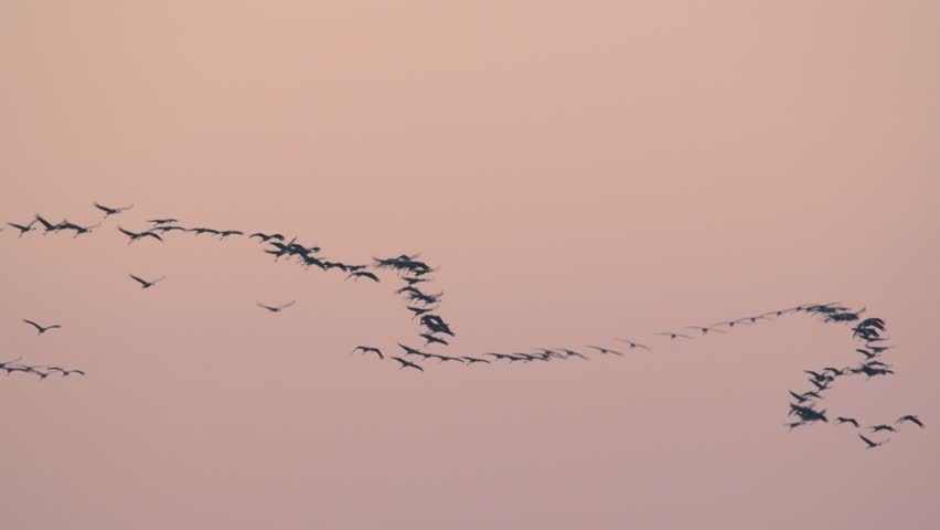 Flying flock of the birds in the sky. Migrating common crane. Grus grus. | Shutterstock HD Video #1016716294