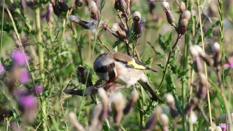 Goldfinch search feed on a thistle, summer, (carduelis carduelis)