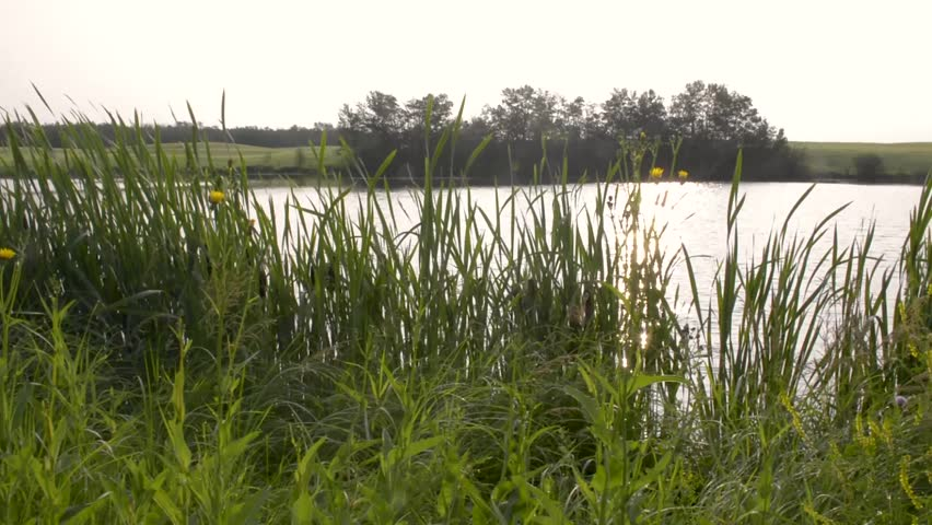 Pond with waving cattails in the forground