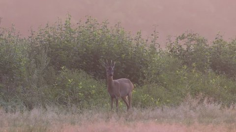 Roe buck is looking from the foggy meadow, morning, summer, (capreolus capreolus)