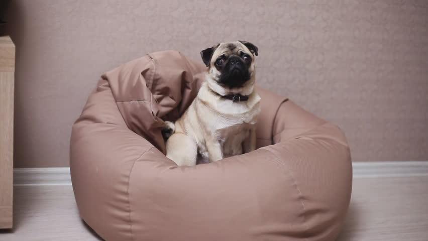 Terrific Cute Dog Pug Sit On Stock Footage Video 100 Royalty Free 1016949514 Shutterstock Machost Co Dining Chair Design Ideas Machostcouk