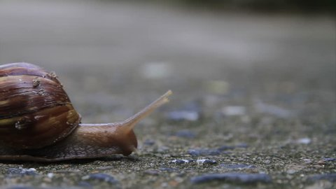 Time lapse, big snail, Burgundy snail, edible snail or escargot in shell crawling on road. HD