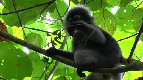 Dusky Langur sit in lowland rainforest tree eating leaves and looking around close up