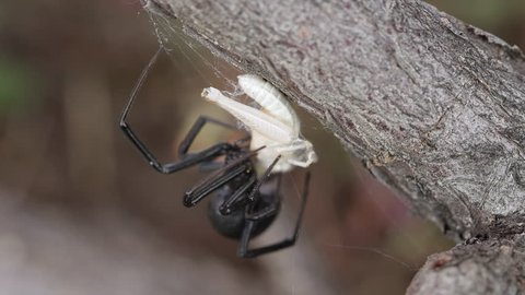 Grass hopper stuck in Black Widow spider web as the spider starts to wrap it up. part 3