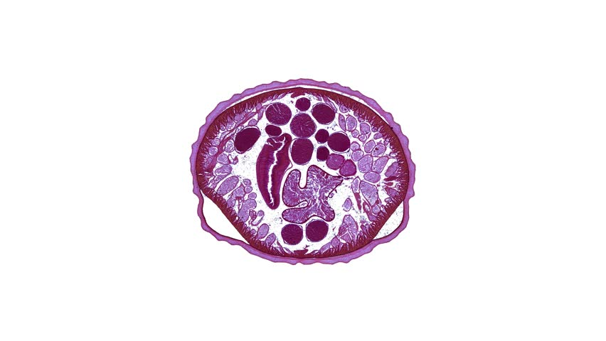 ascaris - cross section cut under the microscope – microscopic view of animal cells for education