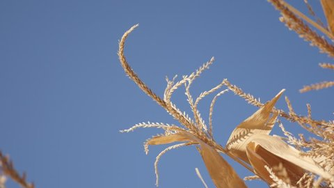 Close-up tassel of corn against blue sky slow motion video