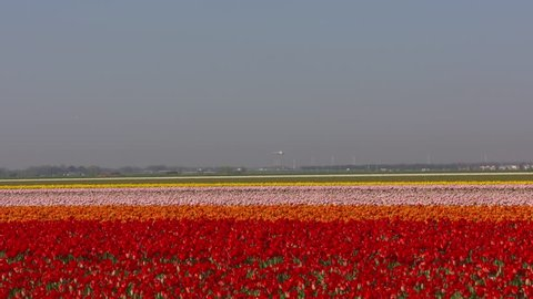 Colourful bulbfields surround the airfield. Highway traffic, Polderbaan runway + incoming aircraft at horizon. SCHIPHOL AMSTERDAM AIRPORT is located in a Dutch polder below sea level. APRIL 2018