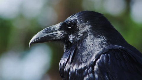 Common Raven Stock Video Footage - 4K and HD Video Clips