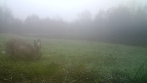 European Hare (Lepus Europaeus or Brown Hare) eats grass in a foggy winter day. Nature and Wildlife FullHD Video.