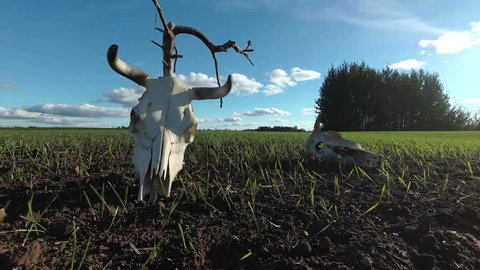 Cow skulls on agriculture field, time lapse