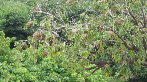 Weaver birds in a tree around the Farako falls in Mali, Africa
