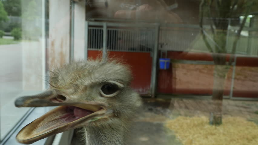 Close up of an ostrich's head, as it opens and closes its beak. | Shutterstock HD Video #1017506674