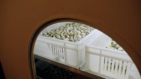 Quail eggs in an incubator on a quail farm. View through the incubator window