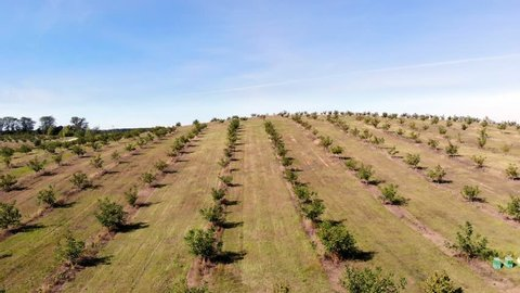 farm, fields of walnut plantations. rows of healthy walnut trees in a rural plantation with ripening walnuts on trees on a sunny day.aero video, drone