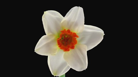 "Time-lapse of opening narcissus ""Barret Browning"" 1a3 in RGB + ALPHA matte format isolated on black background"