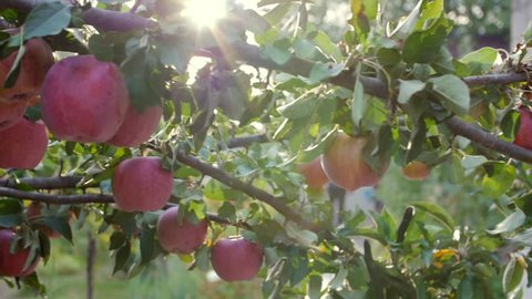 Ripe Beautiful red Apples Hang on the Apple Tree, Bright Sunlight and Light and Wind Play with Leaves and Fruit. Concept of Healthy Eating. Apple Trees with Red Apples.