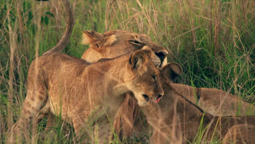 Medium and wide-angle shot of lioness and cubs in Uganda, Africa | Shutterstock HD Video #1018164484