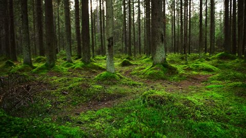 Dolly shot of pine forest ground covered with a dense layer of moss