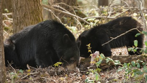 Stable shot of a black bear family in Great Smoky Mountains National Park, Tennessee at Cades Cove on a beautiful day in forest as they eat carcass of something mother bear has scavenged for her cubs.