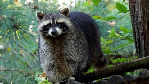 Raccoon (Procyon lotor) and trees in background. Also known as the North American raccoon.