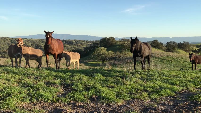 First person angle of multiple horses,donkeys, and mules walking towards the camera in California's hills | Shutterstock HD Video #1018487734