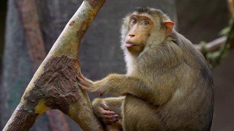 Southern pig-tailed macaque (Macaca nemestrina)