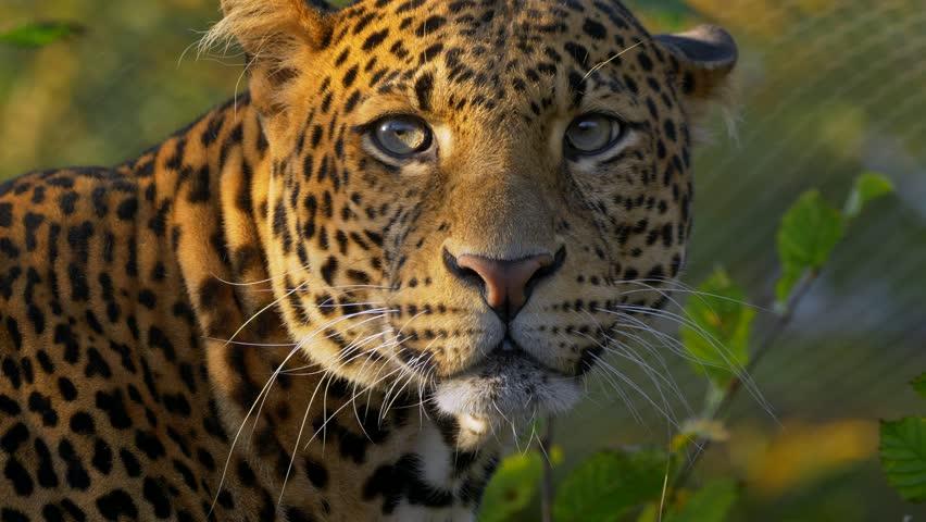 Javan leopard (Panthera pardus melas) portrait #1018816774