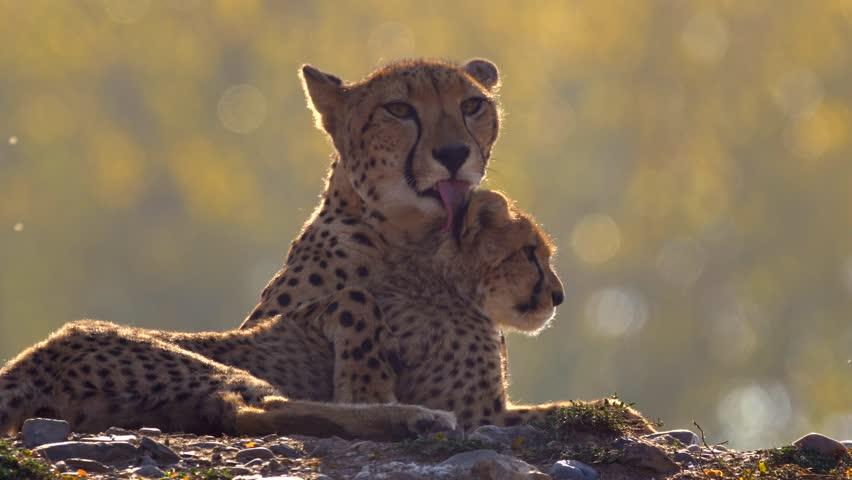 Mother cheetah (Acinonyx jubatus) with her baby