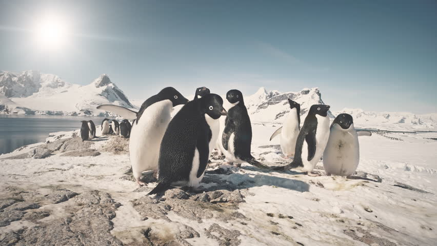 Funny Penguin Group On Antarctica Snow Covered Land. Close-up Shot Of Adelie Penguins Colony. Habits Of Wild Animals. Winter Polar Landscape. Bright Sun Over Mighty Mountains. 4k Footage.