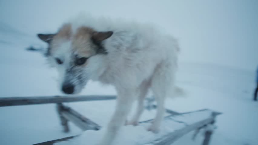 Pretty two homeless dogs playing with tourist in the middle of Arctic in tundra.