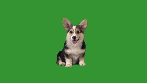 puppy is yawning on the green screen
