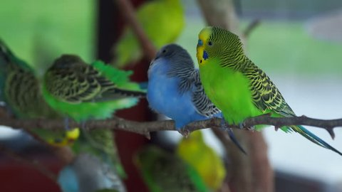 Budgerigar or Melopsittacus undulatus or budgie or parakeet. Coloful green and blue birds are sitting on branch and cleaning feathers.
