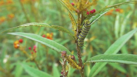 A brightly colored striped caterpillar is seen on the stalk of a flower.