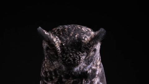 spotted eagle owl as a studio shot with black background, owl looks to floor and suddenly into the camera, after that owl looks around