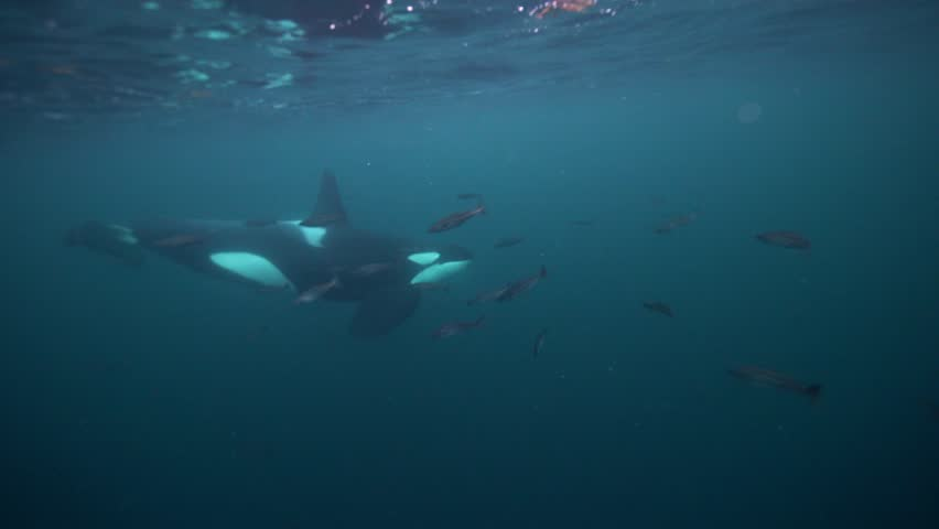Orcas hunting for herrings in the fjords of northern norway | Shutterstock HD Video #1020441184