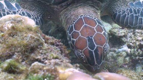 Green sea turtle feeding on sea grass in a shallow water closeup in Apo Island, Philippines
