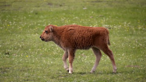 Yellowstone National Park - A young baby bison calf walks by itself in a peaceful springtime green meadow.
