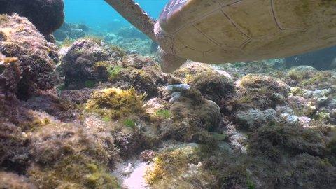 Green sea turtle feeding on sea grass in a shallow water closeup in Apo Island, Philippines, 4K